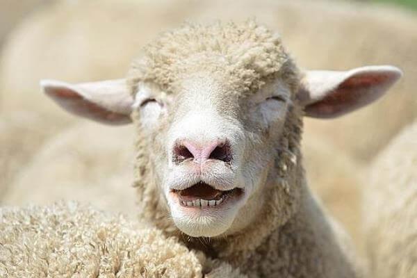 Los-datos-más-curiosos-de-la-oveja